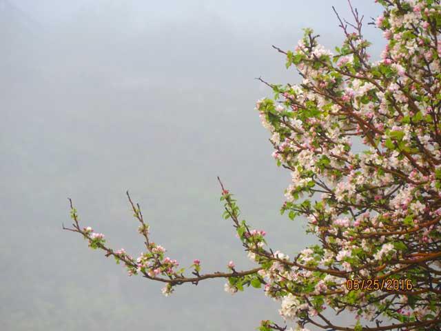 Apple Blossoms in Fog