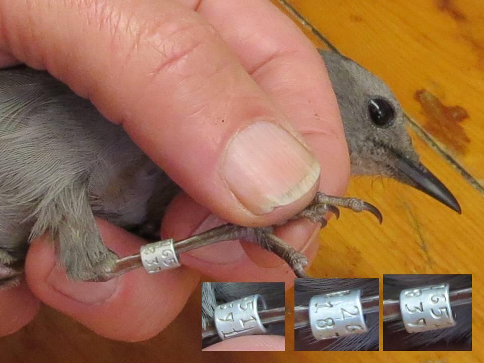 Gray Catbird banded Fall 2015 at Braddock Bay Bird Observatory, NY