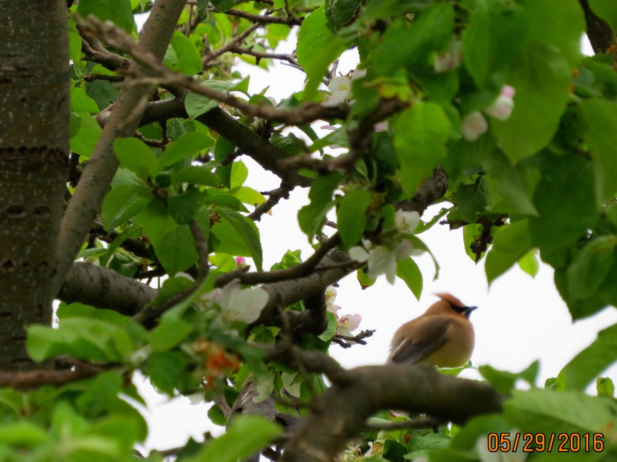 Cedar Waxwing in the apple tree