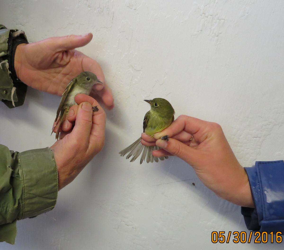 Flycatcher quiz