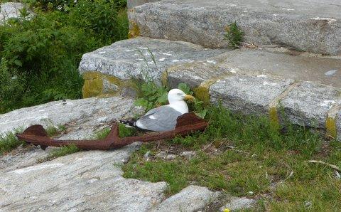 Herring Gull nest at Dorm 1