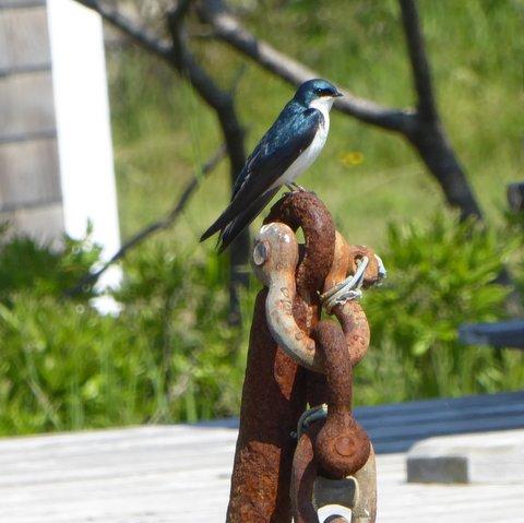 Tree Swallow keeping vigil near its nest box