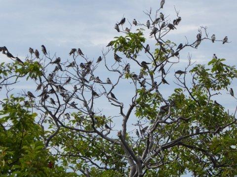 Tree Swallows!