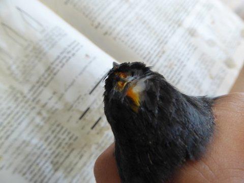 Kingbird crown feathers -- rarely seen