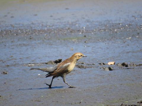 Rusty Blackbird at Crystal Mudflats