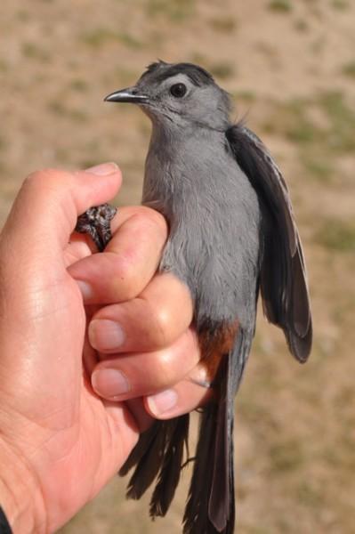 The season's 100th Gray Catbird, HY-U