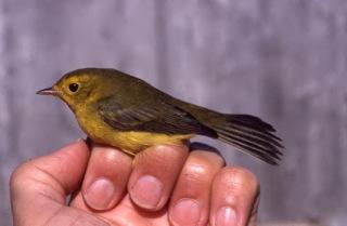 Hatch-year female Wilson's Warbler